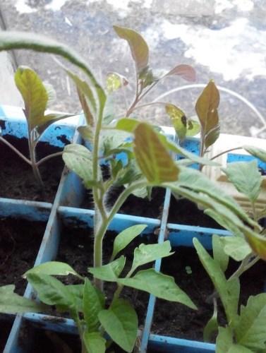 Почему у рассады помидор посинели листья и стебель