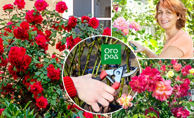 : Обрезка роз после цветения
