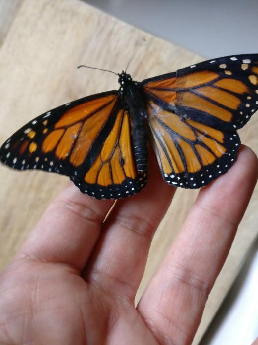Бабочка Монарх с новым крылом.