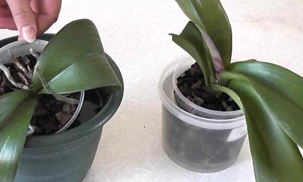 Полив орхидей погружением