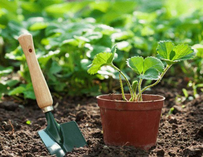 Выращивание клубники может стать увлекательным хобби как для опытного садовода, так и человека, ранее не знакомого с подобной практикой