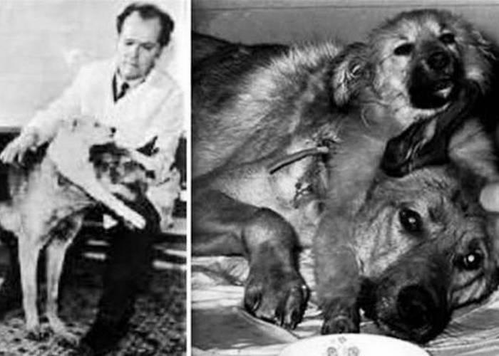 Безумный эксперимент: собаки Франкенштейна.