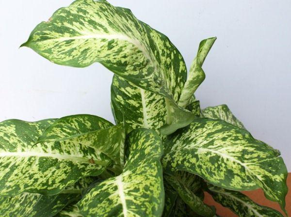 Сорт Бауманна отличают невероятно крупные листья