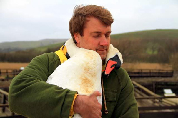 injured-swan-hugs-man-richard-wiese-born-to-explore-abbotsbury-swannery-15