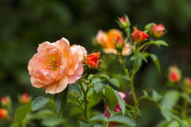 Чайная роза в саду