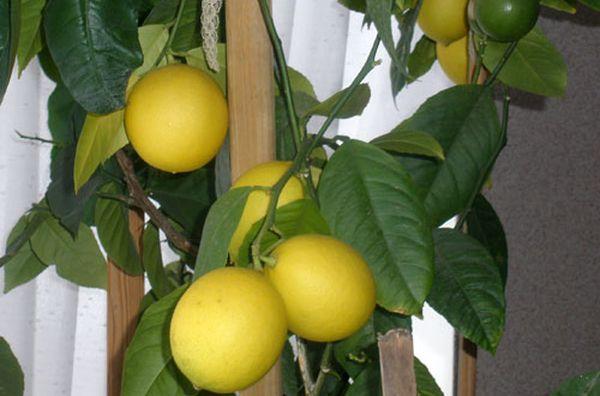 Зимой лимоны не нуждаются в подкормке минералами