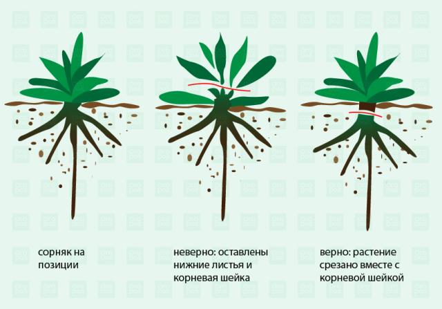 Схема отделения листьев от корня с помощью тяпки