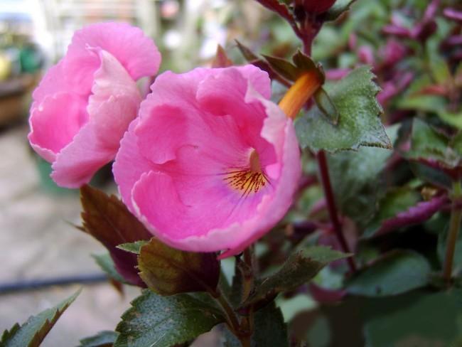 Этот волшебный цветок поражает своей неповторимой красотой и неприхотливостью