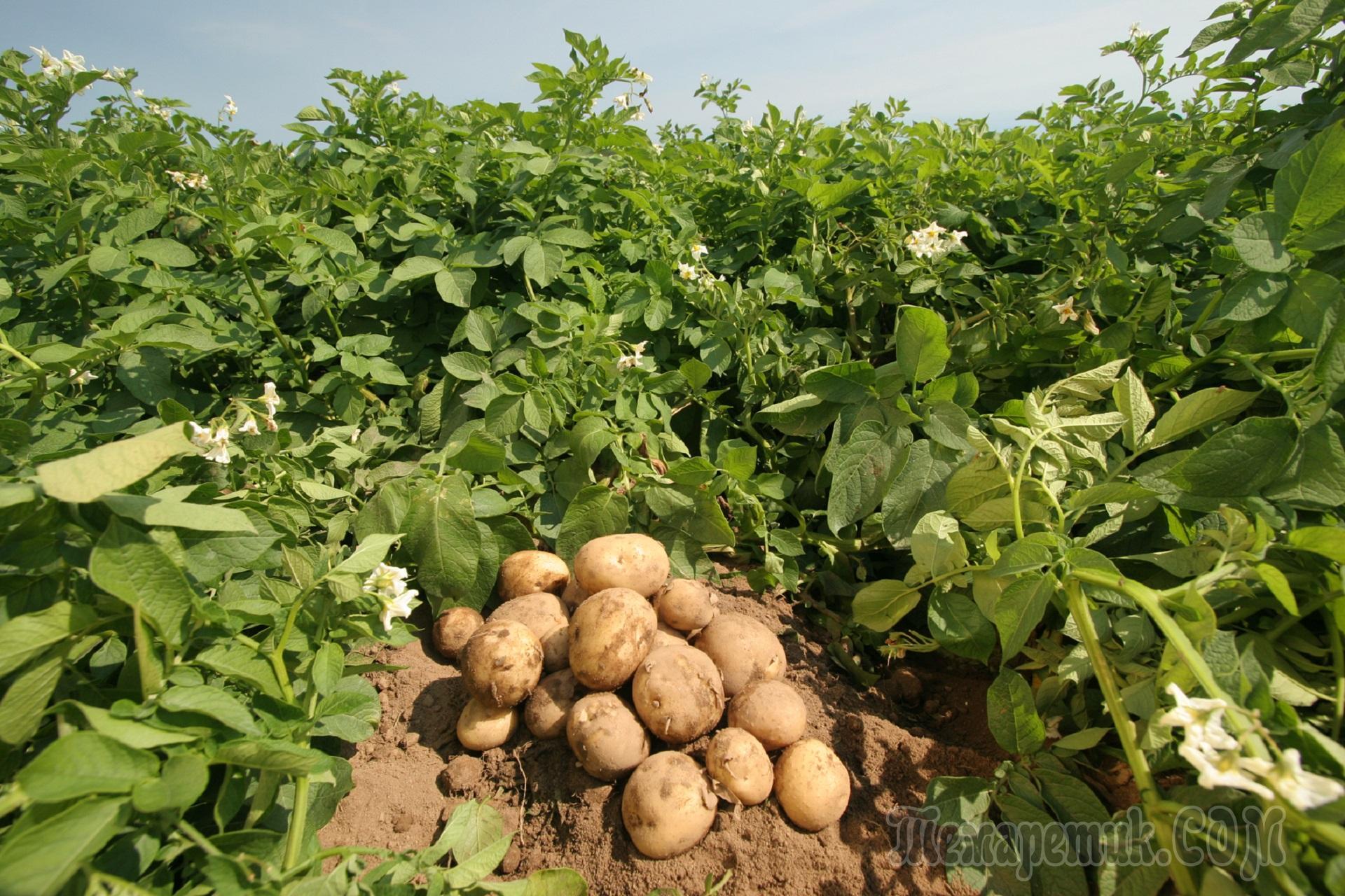 Оригинальный способ выращивания картошки