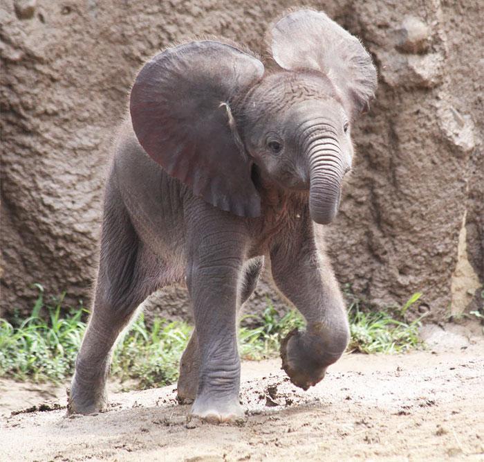 Веселый детеныш слона