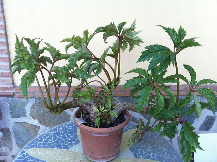 Бегония каролинолистная (Begonia carolineifolia)