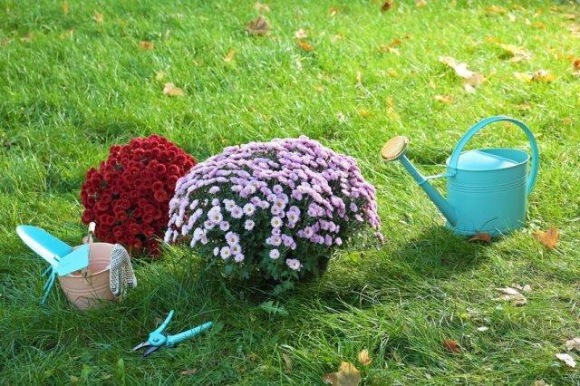 хризантемы с инструментом