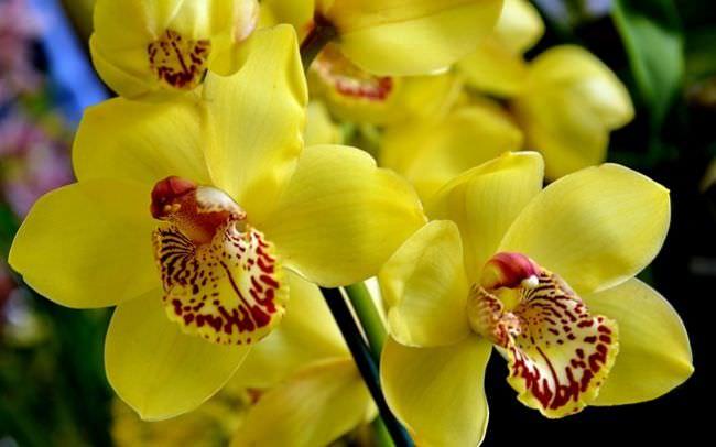 Пересаживают орхидею с цветками желтоватого цвета после того, как корни начинают вылезать из горшка