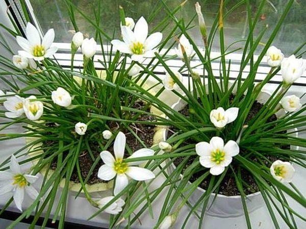 Нарциссы наделены ровными листками и голым стеблем