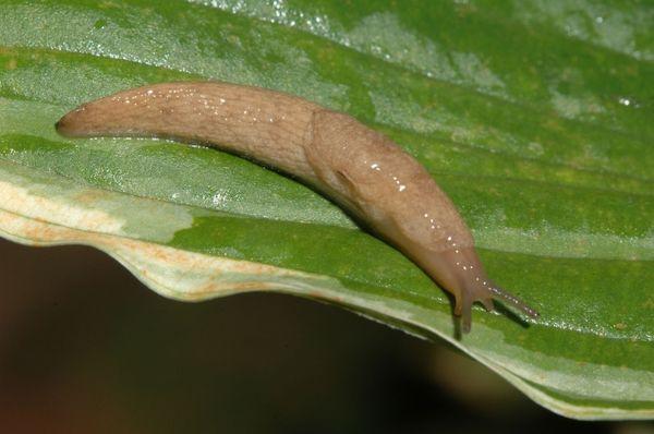 Слизни оставляют язвы на листьях
