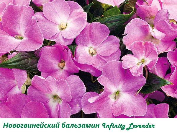 Новогвинейский бальзамин Infinity Lavender