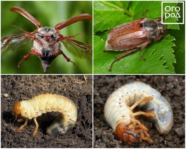 Так выглядят майский жук и его личинка