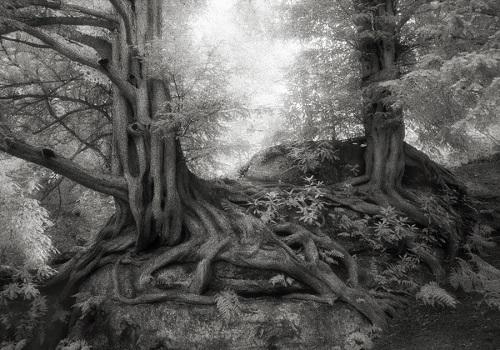 Деревья-долгожители