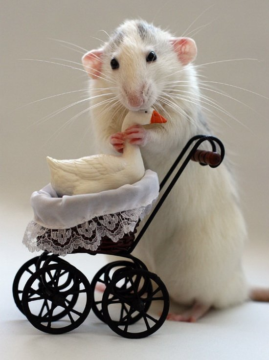Крысы-родители в фотоработах Эллен ван Дилен. Фото