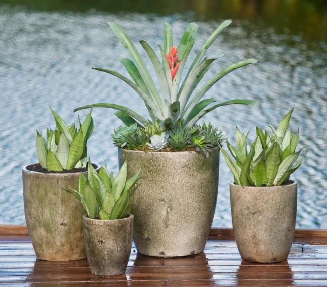 Симпатичное комнатное растение эхмея