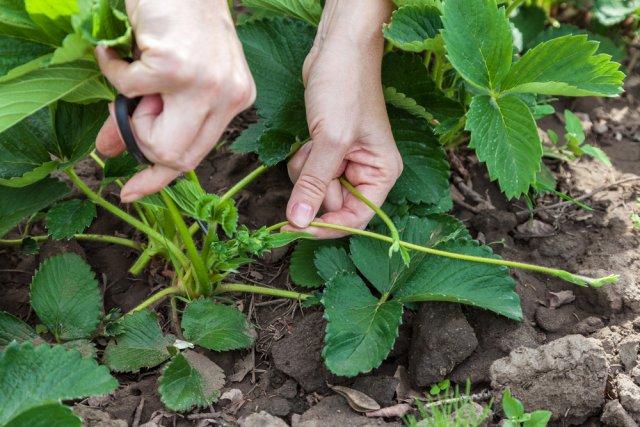 Садовник обрезает усы у клубники