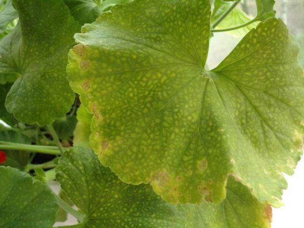 Хлороз меняет цвет листьев