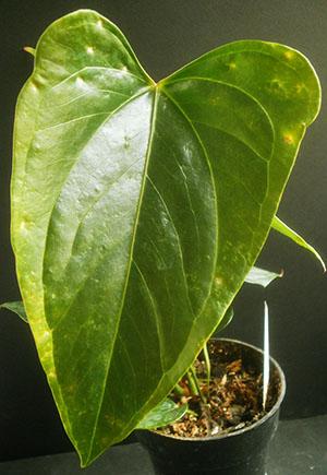 Листья антуриума чутко реагируют на температуру в помещении, режим освещения и влажность воздуха