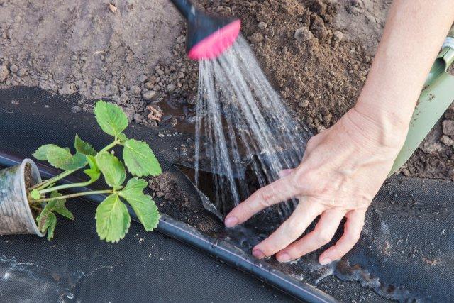 поливать лунку для клубники