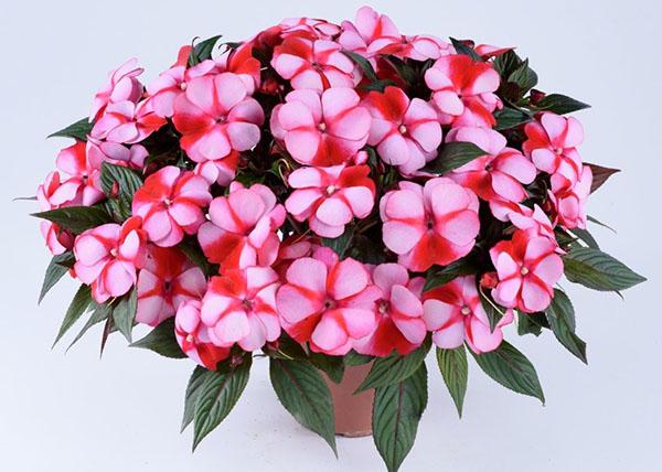 двухцветная расцветка цветов ваньки мокрого
