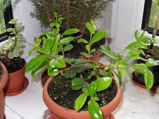 Растение будет полноценно расти и развиваться только в помещении в повышенной влажностью воздуха