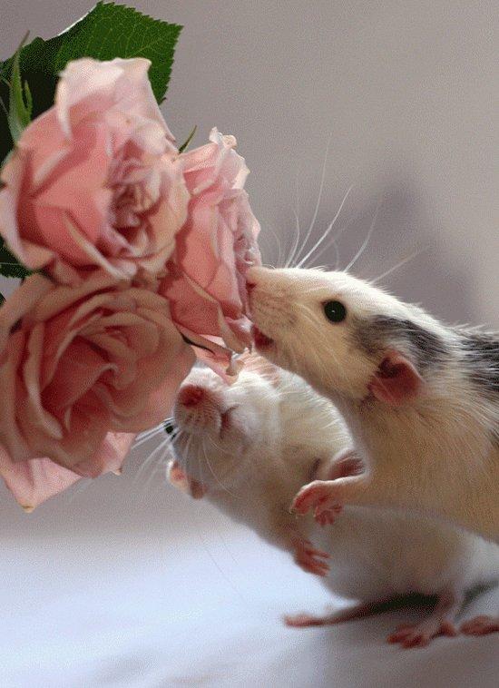 Крысы и розы в фотоработах Эллен ван Дилен. Фото