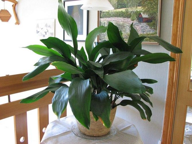 Декоративное растение с длинными темно-зелеными полосатыми листьями сможет выращивать даже цветовод-новичок