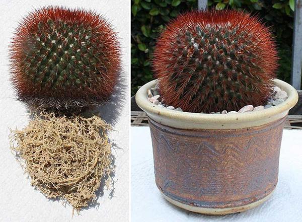 Очень важно подобрать для кактуса горшок правильного размера