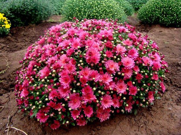 Хризантема Мультифлора (шаровидная) Bransky plum Шаровидная хризантема сорта Bransky plum обладает красивыми, ярко-сливовыми махровыми цветами диаметром около 4 см. Куст высокий, до 40-70 см, но пышный и аккуратный. Начинает цвести Хризантема Мультифлора (шаровидная) Bransky plum в сентябре.
