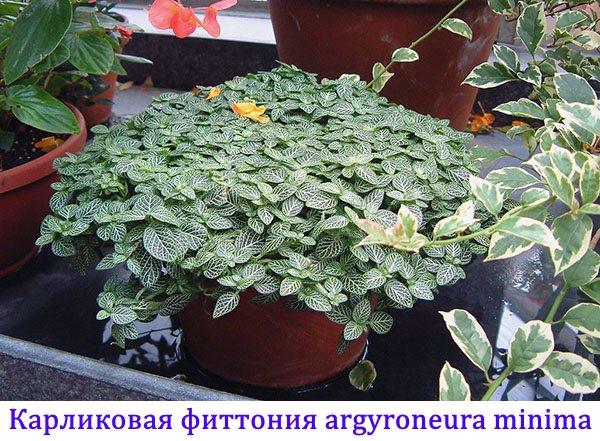 Карликовая фиттония Argyroneura Minima