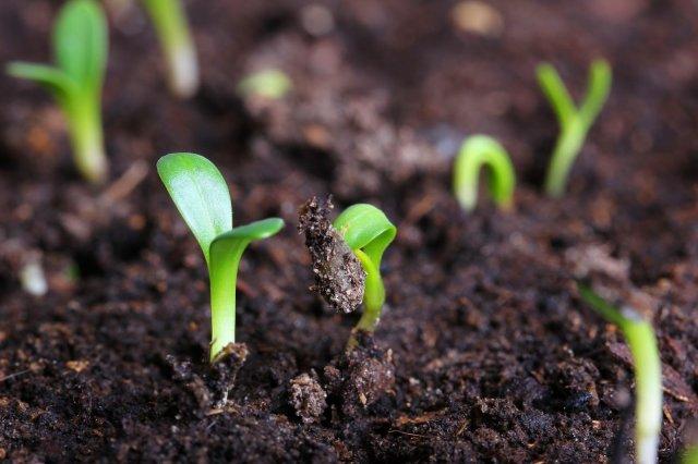 Проблемы при выращивании базилика