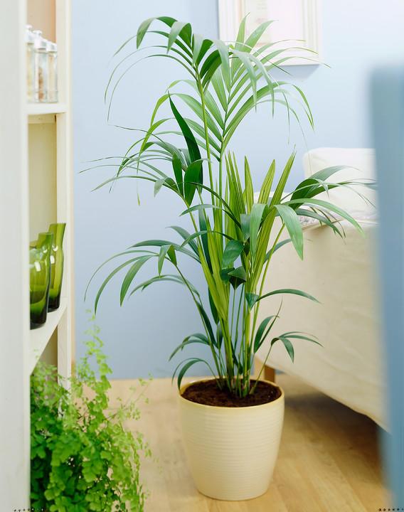 Цветы на пол: 10 лучших комнатных деревьев - фото 7