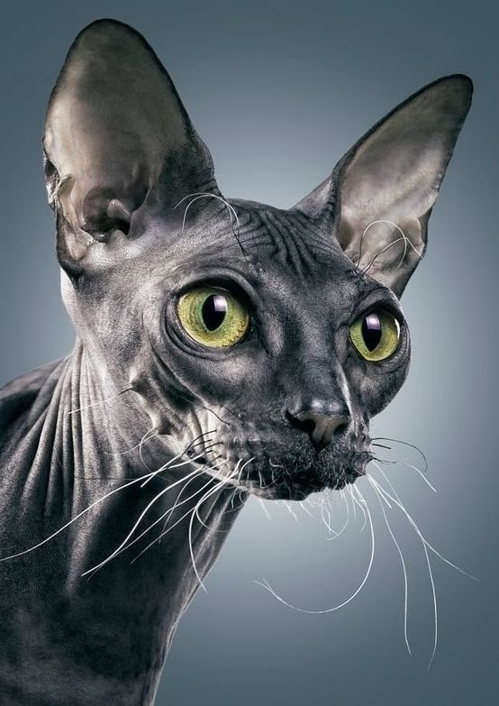 привлекают технологии картинки лысые кошки красивые отмечают, что такого