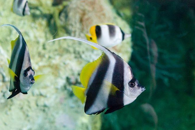 12. Мавританский идол или занкл животный мир, море, природа, путешествия, рыбки