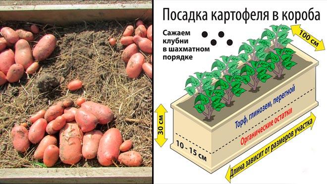 Плюсы посадки картошки в бочке