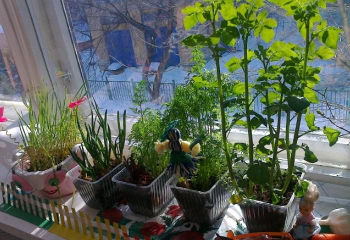 На подоконнике можно выращивать овощи круглый год / Фото: maam.ru