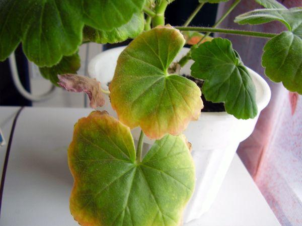 Листья могут пожелтеть из-за болезней