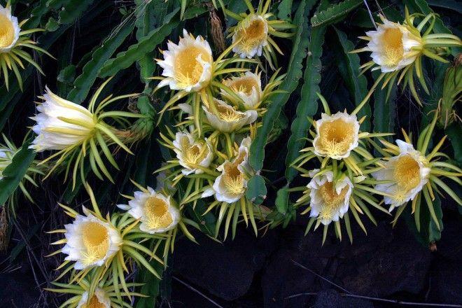Картинки по запросу flores de pitahaya