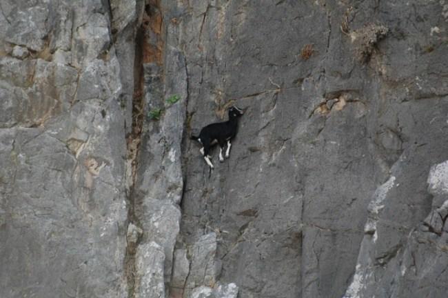 горные козлы бесстрашные животные (5)