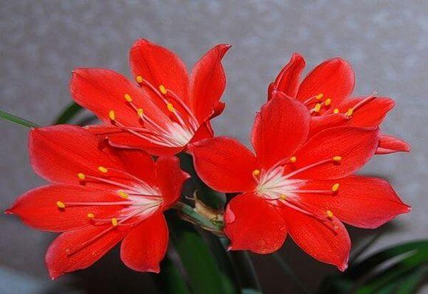 Валлота цветет ярко-красными цветками
