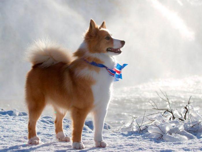 Исландские собаки лают только на добрых людей. /Фото:usatiki.ru