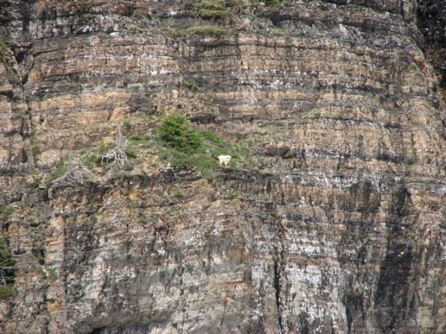 горные козлы бесстрашные животные (12)
