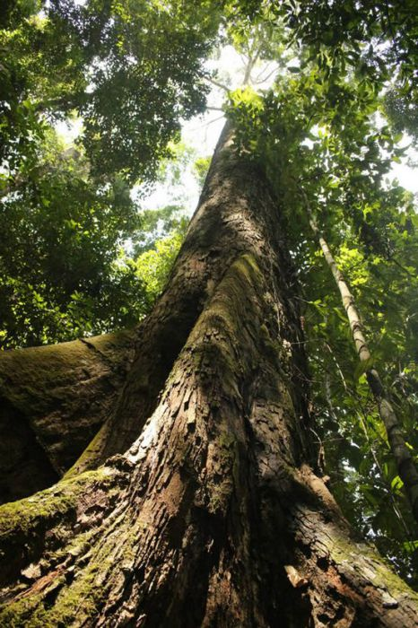 Самое-самое высокое тропическое дерево в мире.