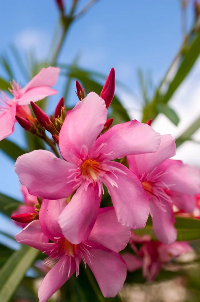 Запах олеандра может вызвать головокружение. Осторожно: сок опасен для глаз