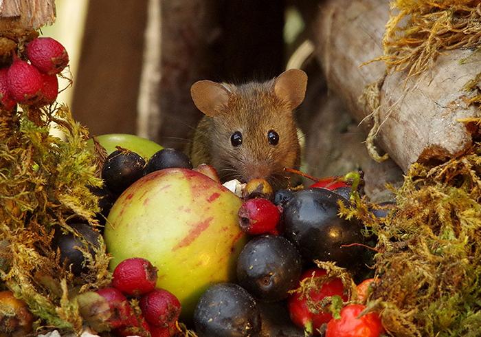 Саймон собирает для своих гостей сада орехи и ягоды в лесу.